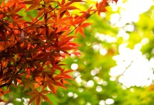 free-photo-autumn-maple