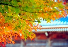 free-photo-gradation-maple-leaves