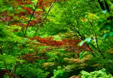 free-photo-green-leaves-vitality-maple