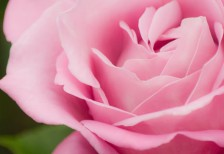 free-photo-cute-pink-rose