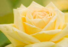 free-photo-cute-yellow-rose