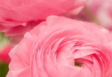 free-photo-pink-cute-ranunculus