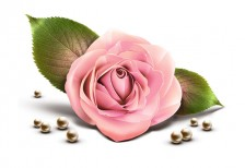 free-icon-cute-pink-rose
