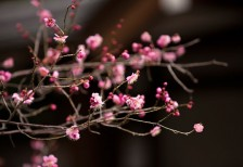 free-photo-pink-branch-ume