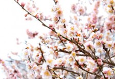 free-photo-ume-flower