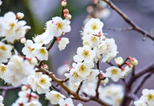 free-photo-ume-flower-white