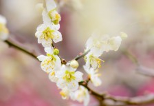 free-photpo-plum-flower