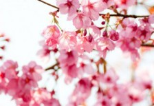 free-photo-beautiful-cherry-blossoms