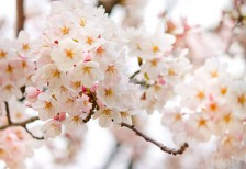 free-photo-cute-sakura-pink