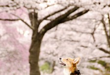 free-photo-sakura-dog
