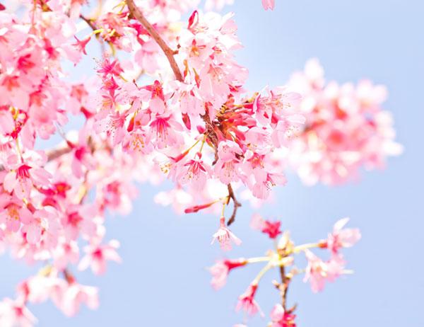 「桜 無料素材」の画像検索結果