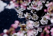 free-photo-sakura-river