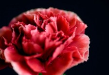 free-photo-hahanohi-beautiful-carnation-red