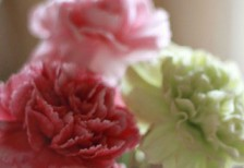 free-photo-mothersday-pink-green-carnation