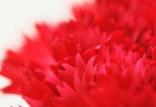 free-photo-mothersday-red-carnation