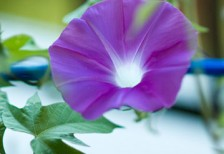 free-photo-morning-glory