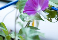 free-photo-morning-glory-bokeh