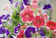 free-photo-morning-glory-pink-purple