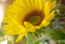 free-photo-sunflower