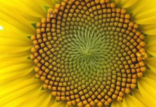 free-photo-sunflower-up