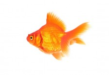 free-photo-goldfish-beiz-s00485