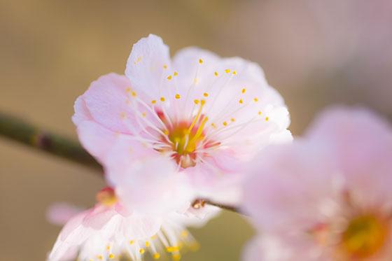 梅の花をマクロ撮影した綺麗な写真素材。雄しべと雌しべまでクッキリ鮮明。 梅の花をマクロ撮影したフ