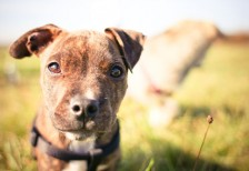 free-photo-little-pitbulls-look-picjumbo