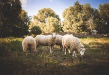 free-photo-a-small-flock-of-sheep