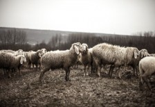 free-photo-flock-of-sheeps-splitshire