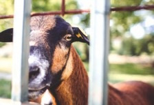free-photo-goat-looking-over-the-fence