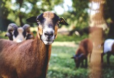 free-photo-goat-portrait-picjumbo