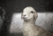 free-photo-little-sheep-behind-car-glass-splitshire