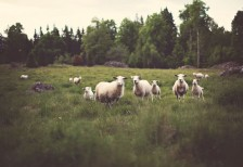 free-photo-sheep-jonas-nilsson-lee-unsplash