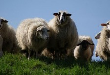 free-photo-sheeps-on-a-dike-skitterphoto