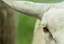 free-photo-sheep-close-up-skitterphoto
